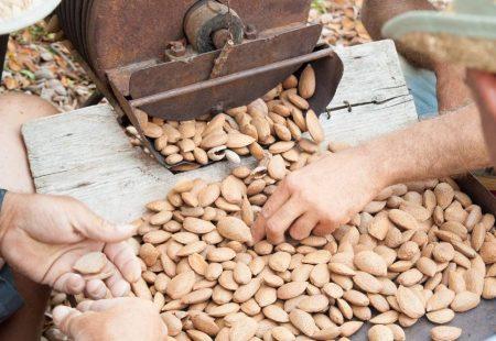 Séjour Oenogastronomique en Sicile - Recolte des amandes